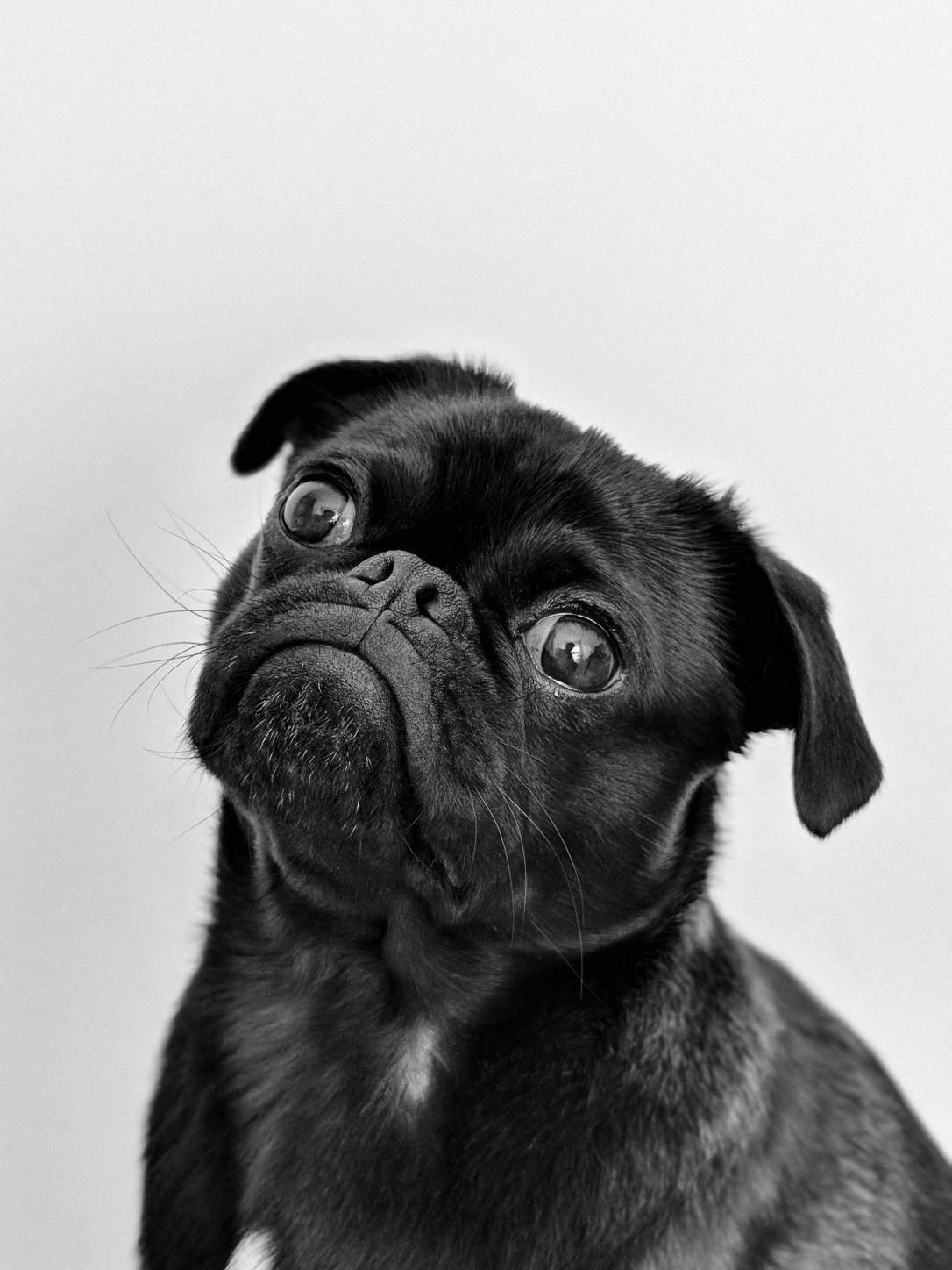 a black pug looking quizzical with head tilted