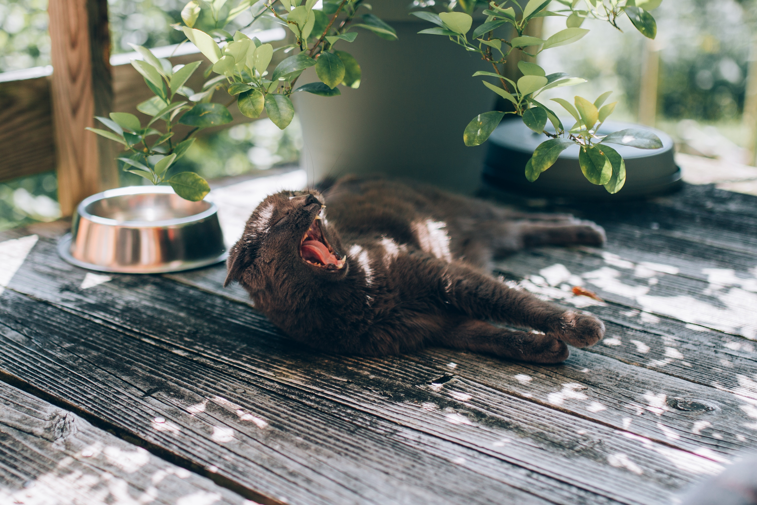 a brown cat yawning in while laying on a wooden deck